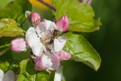 Apfelblüte mit Biene bei der Bestäubung