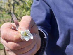 Züchter Niklaus Bolliger zeigt eine Apfelblüte