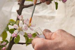 Apfelblütenbestäubung mit dem Pinsel