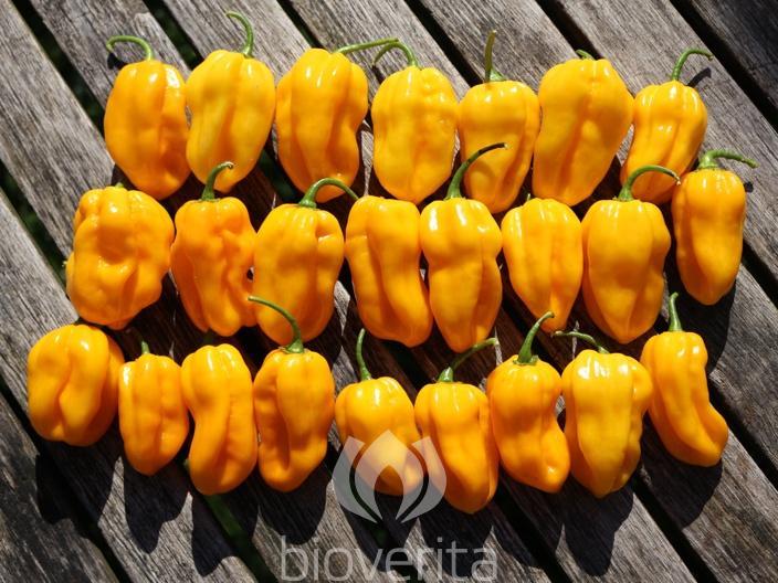 Chili Habanero Golden