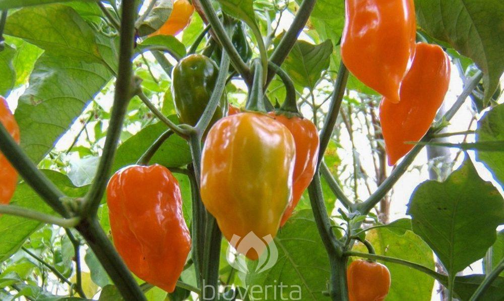 Chili Habanero Orange