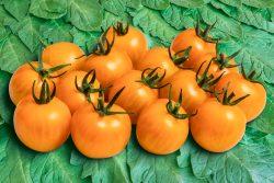 Tomate Goldianan