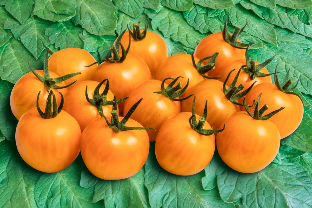 Tomate Goldiana
