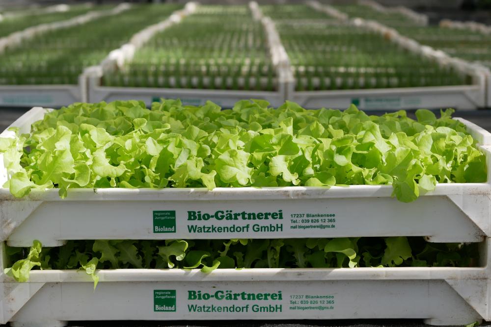 Gärtnerei Watzkendorf Salatjungpflanzen