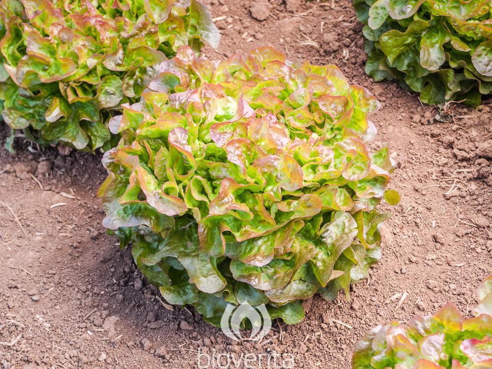 Salat Bijella