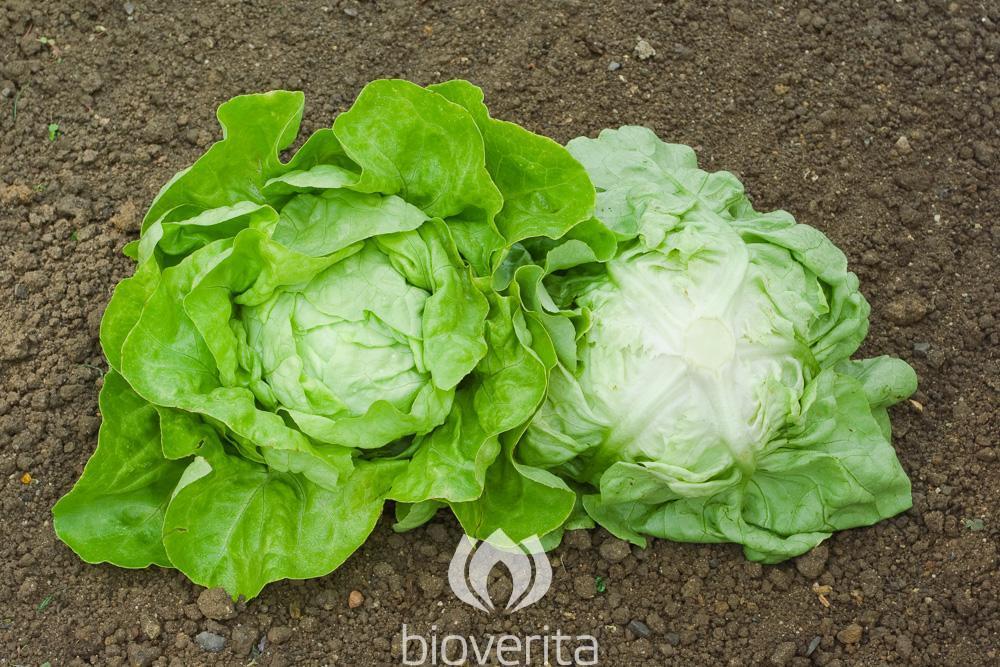 Salat Lucinde
