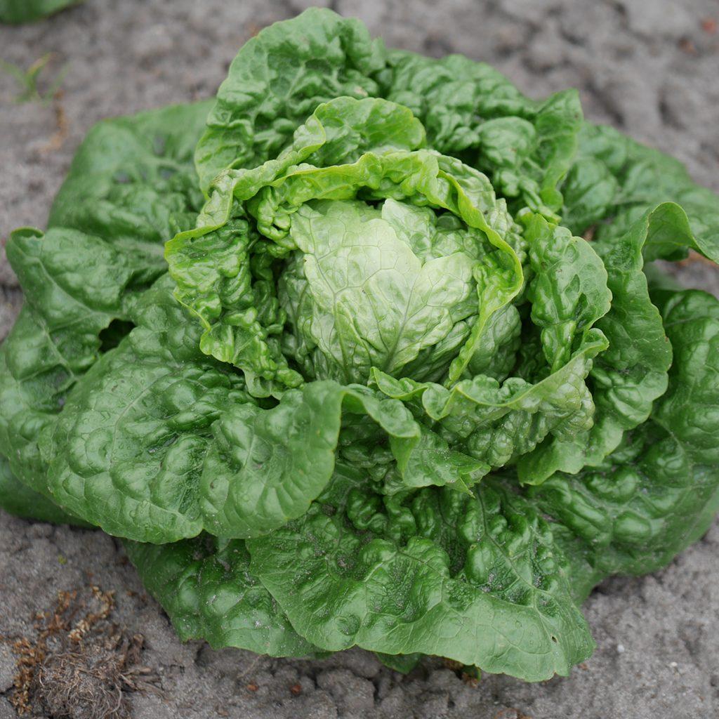 Salat Parrot