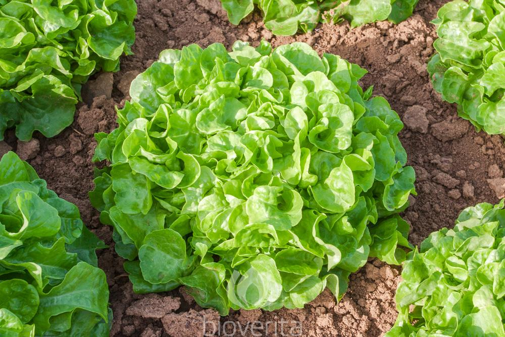 Salat Piro