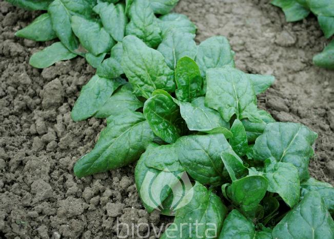 Spinat Winterriesen 3/Verdil