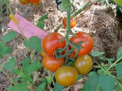 Tomate Tica bei Piluweri