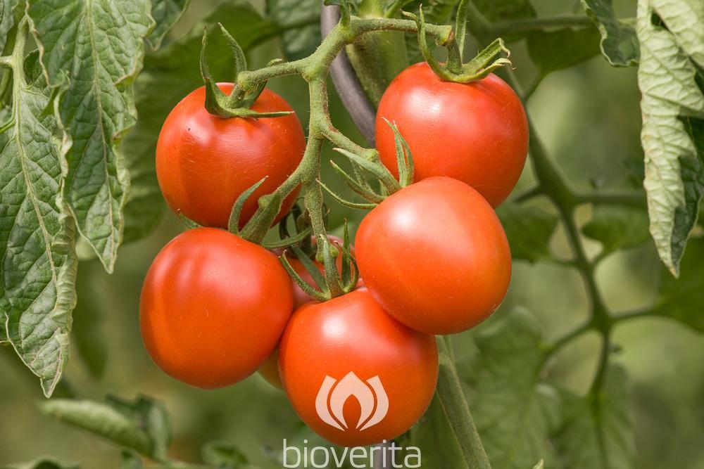 Tomate Dorenia