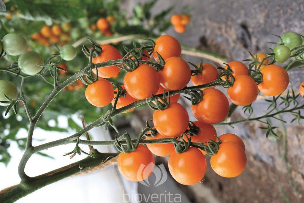 Tomate Lillit
