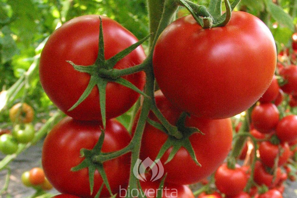 Tomate Pilu