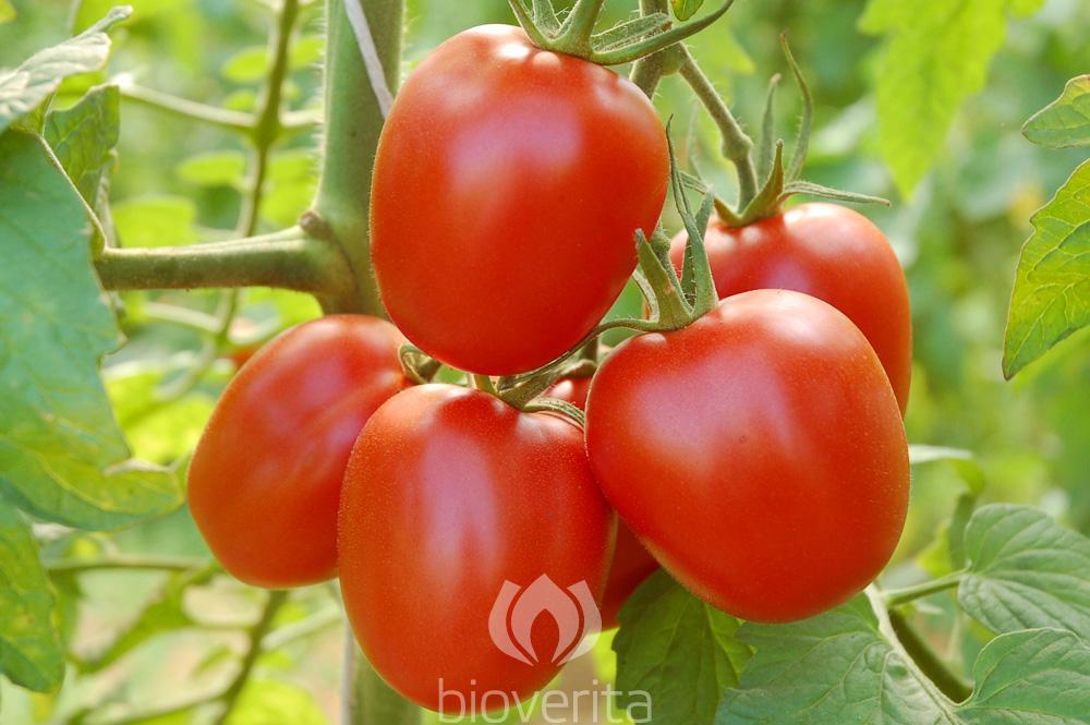 Tomate Quadro