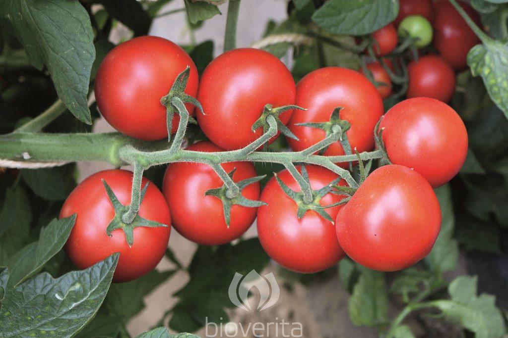 Tomate Ricca