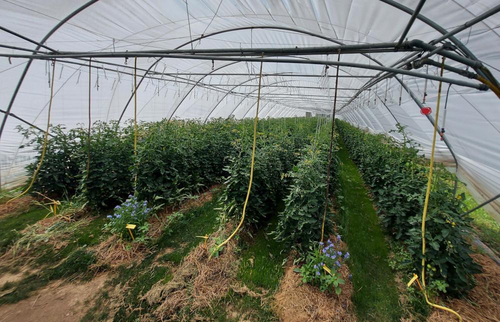 Tomaten in der Isolierung