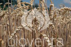 Weizen Prim von GZPK