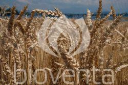 Weizen Wital von GZPK