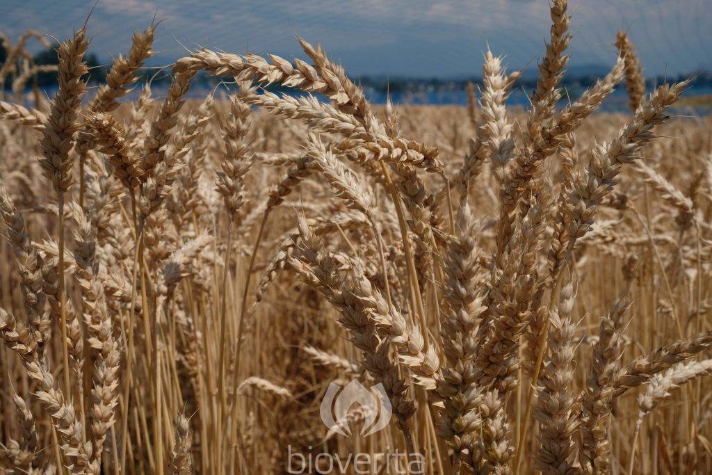 Weizen Wital
